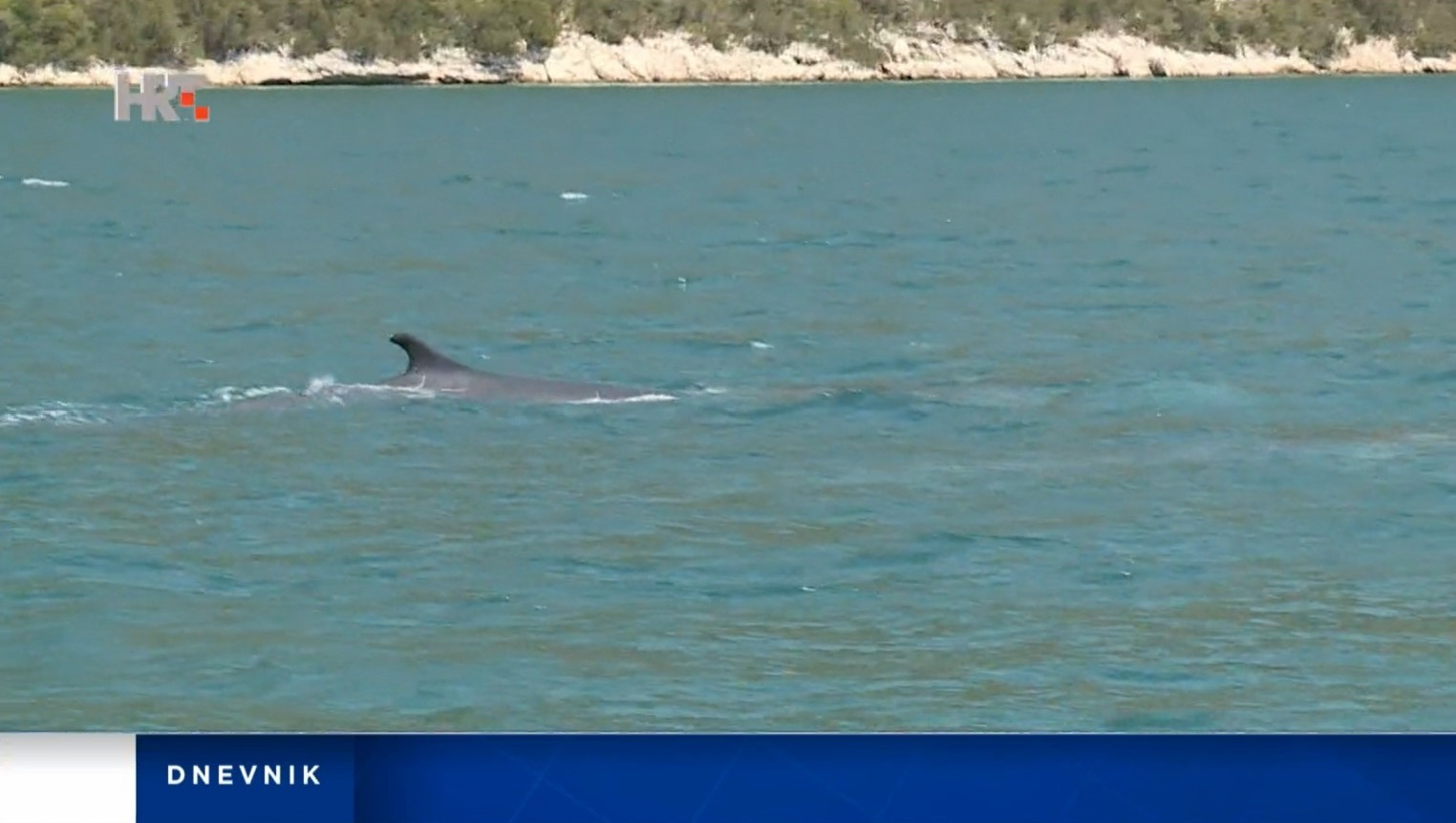 The team at HRT spotted several whales in Mali Ston Bay near the site of the new Peljesac Bridge.